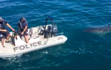 Great white shark interrupts police operation in Australia