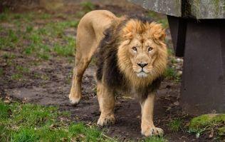 Lions, tigers, a jaguar and a bear escape German zoo