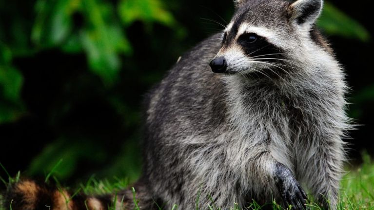 Daredevil racoon scales 23 storey building, becomes internet superstar