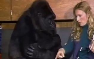 Koko the gorilla has died, aged 46