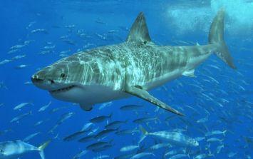 Giant Great White Shark spot in waters near Majorca