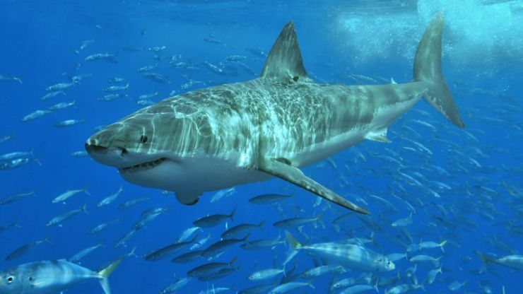 Giant Great White Shark spot in waters near Majorca