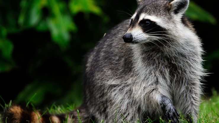 WATCH: Raccoon falls nine stories off a building, walks it off like it was nothing