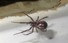 Four London schools shut down due to infestation of venomous false widow spiders