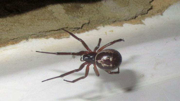 Four London schools shut down due to infestation of venomous false widow spiders