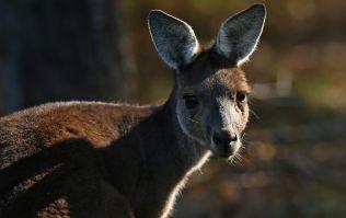 Vicious kangaroo attack in Australia leaves family in hospital