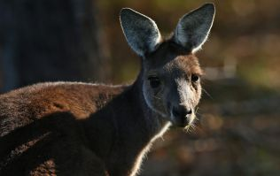 Vicious kangaroo attack in Australia leaves family in hospital