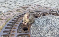 Exclusive interview with the rat that was too fat to fit through a sewer cover