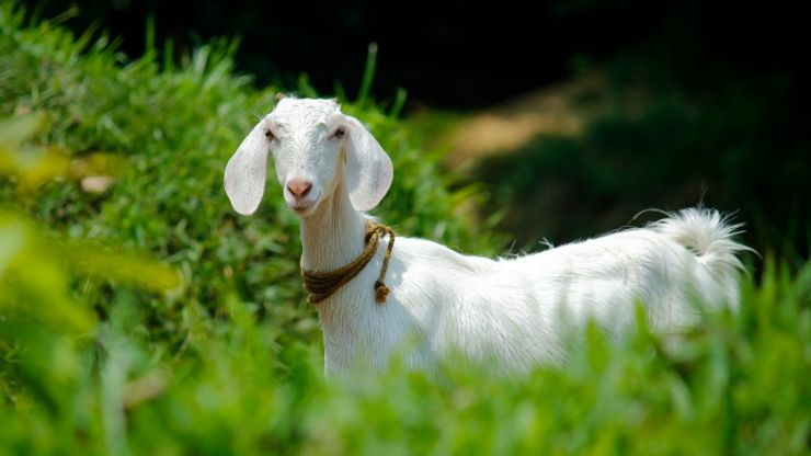 Jogger in Ireland gets caught in footrace with rogue goat