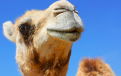 Kim Kardashian drinks camel milk - but is it any good for you?