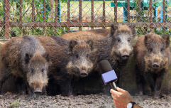 Exclusive interview with 30-50 feral hogs
