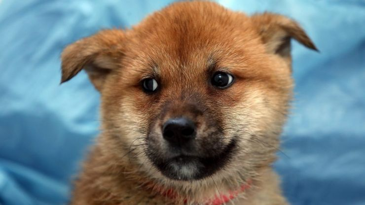 Rescuing dogs from the Korean dog meat trade