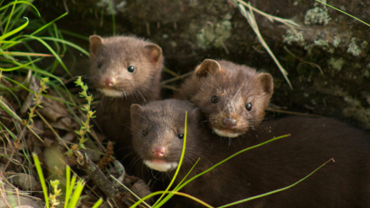 Denmark to cull 17 million minks due to COVID-19 mutation found in farms