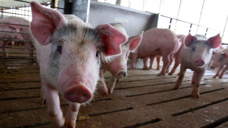Pigs can play video games using their snouts, according to new study