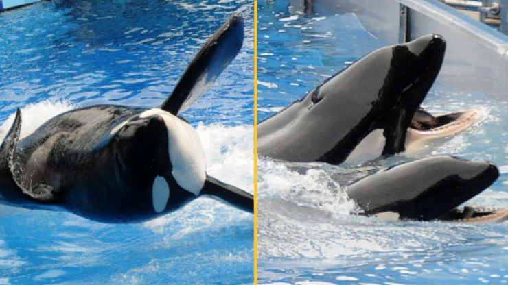 SeaWorld trainer's final moments revealed as whale performed 'deep dive' with her body