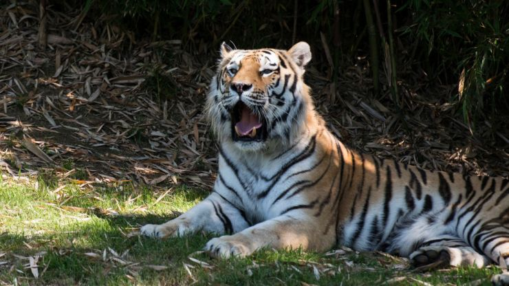 Notorious tiger poacher has been caught after 20-year hunt