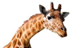 Report: Giraffe killed after hitting head on bridge while being transported in truck