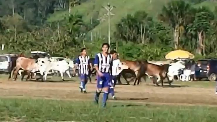Video: Cup match in Peru comes to a halt as pitch is invaded by a herd of rampaging cows