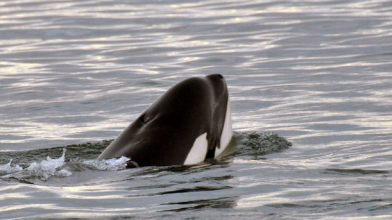 Pics: Seven Killer Whales have been spotted off the coast of Ireland