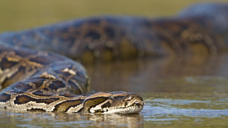 Video: Fishermen trying to catch a 17ft-anaconda is the most mind-blowing thing you will see today