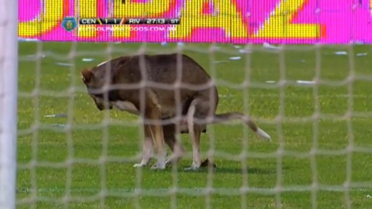 Video: A pitch invader with a difference as dog in Argentina uses the box as a toilet