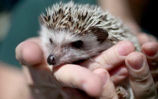 Hedgehog pitch invader brings a halt to football match