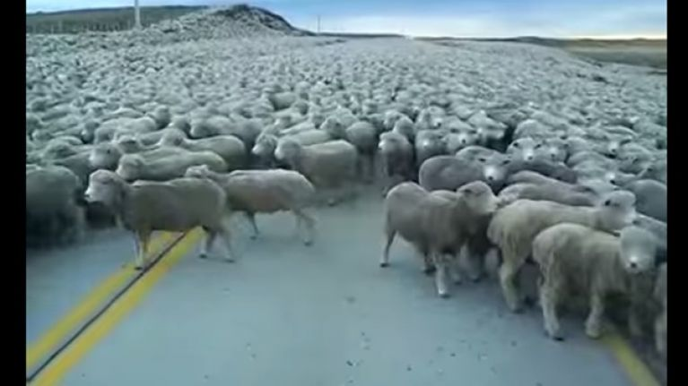 Video: Hundreds of sheep block this road as the 'Sheepocalypse' is finally here