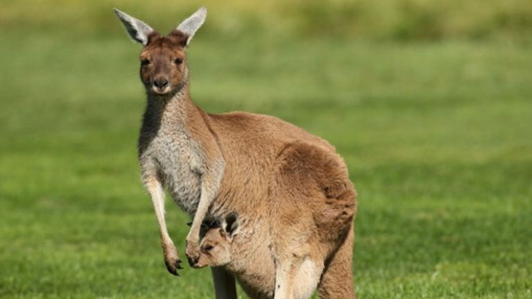 WATCH: A suspected kangaroo is on the loose in Cork