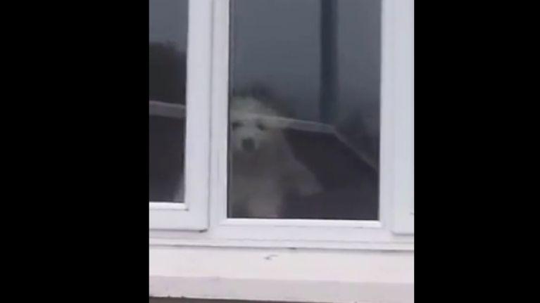 Video: Locked windows are no barrier to this Irish dog | JOE is the
