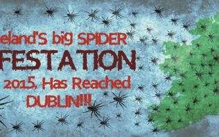 VIDEO: Ireland's big spider infestation of 2015 has reached Dublin