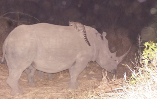 Video: Never-before-seen footage captured a wildcat riding on the back of a rhino in Africa