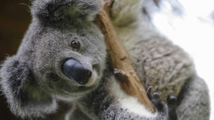 "113 animal species require ""urgent help"" following Australian fires"