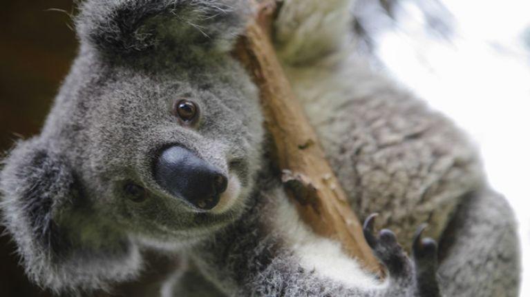 350 koalas have died in Australian bushfires