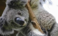 350 koalas have died in Australian bushfires