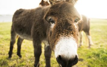Donkey with horrific head injuries rescued by the ISPCA (Warning: Graphic Images)