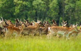 Pet deer kills owner and injures woman