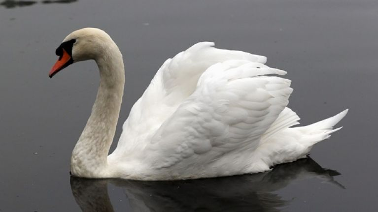 pics here s how a very awkward swan stopped public transport in