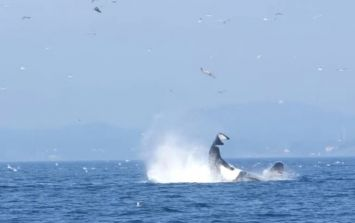 Watch this whale smash a seal 80 feet into the sky
