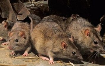 Residents of Dublin flat complex protests over rat infestation in the building