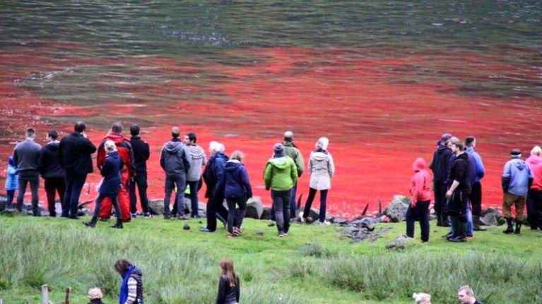 120 whales slaughtered in Faroe Islands this week as part of grindadráp