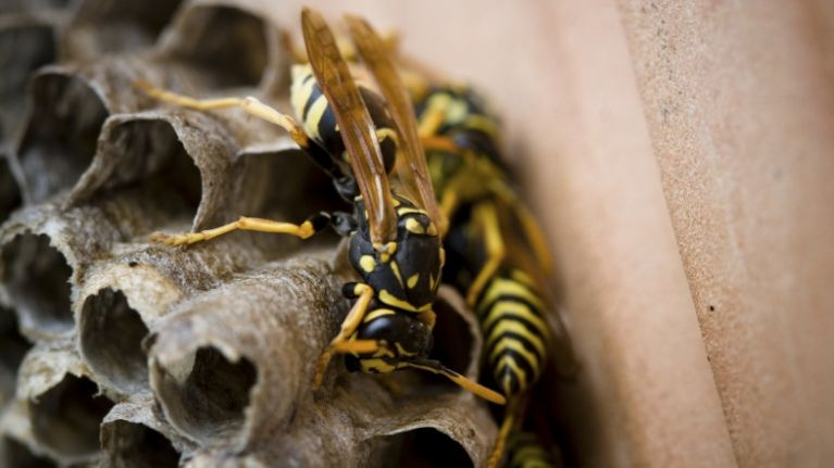 pics this gigantic wasps nest found in an attic will leave you