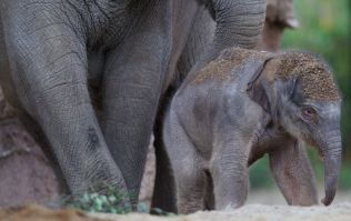 WATCH: Elephants charge at hunters who shot one of them, hunters proceed to shit themselves