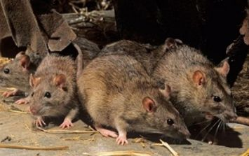 The worst counties in Ireland for rat infestations have been revealed