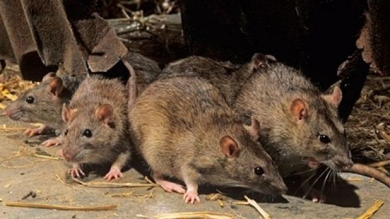 Kerry county council investigating reports of rats swinging from trees in Kerry town