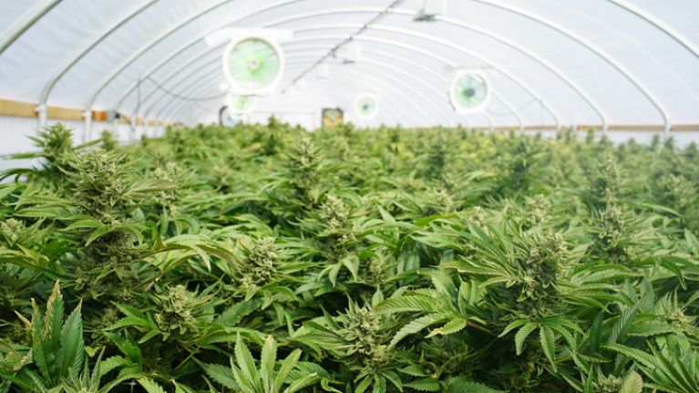 Huge 'cannabis farms' could be established in these 4 Irish counties
