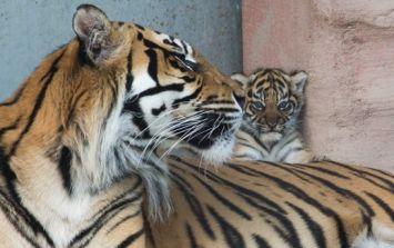 PICS: World's most threatened species of tiger gives birth to a cub at Fota Wildlife Park