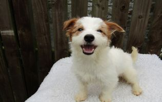 PICS: ISPCA appeals for homes for a large number of Jack Russell Terrier dogs and puppies