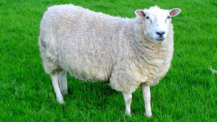 Gardaí investigating the suspected theft of over 100 sheep in Meath