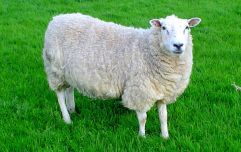 Sheep enrolled at rural school in a bid to boost numbers and save a class