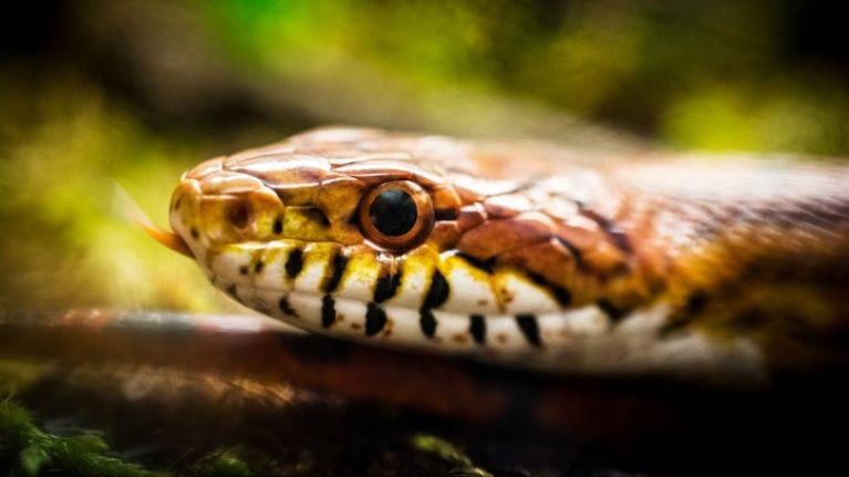Three-eyed snake found on road in Australia